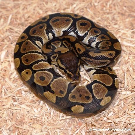 Royal Python or Ball Python