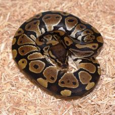 Royal Python or Ball Python (Python regius)