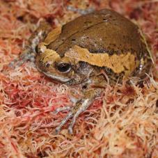 Chubby Frog (Kaloula pulchra)