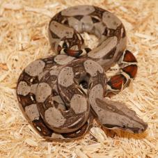 Common Boa Constrictor (Boa constrictor imperator)