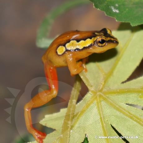 Golden Sedge Reed Frog