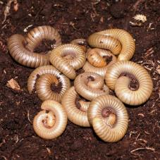 Florida Grey Millipedes (Narceous gordanus)
