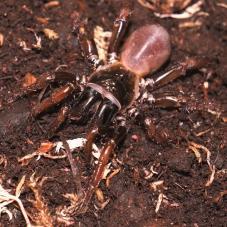 Orange Legged Trapdoor Spider (Gordyrella sp.)