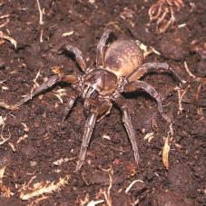 Brown Trapdoor Spider (Unknown sp.)