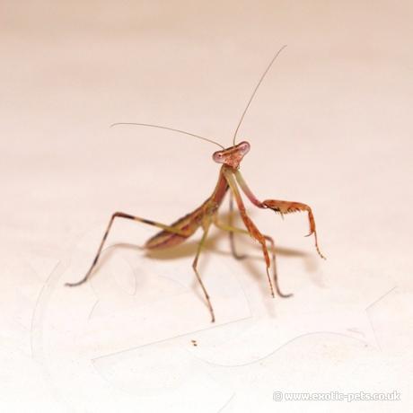 Griffin Mantis