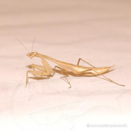 Egyptian Praying Mantis