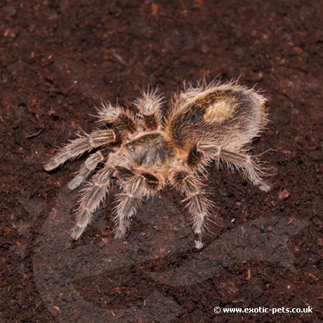 Chile Bronze Tarantula