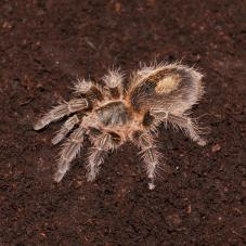 Chile Bronze Tarantula (Paraphysa sp. North)