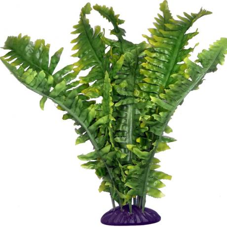 Komodo Boston Fern
