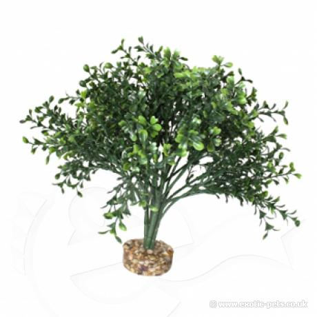 Komodo Boxwood Bush