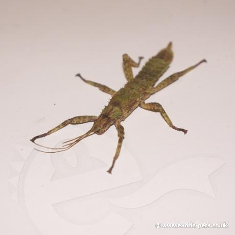New Guinea Spiny Stick Insect