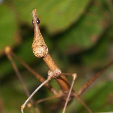 Horse Head Grasshopper (Psuedoproscopia latirostris)