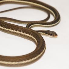 Eastern Ribbon Snake (Thamnophis sauritus)