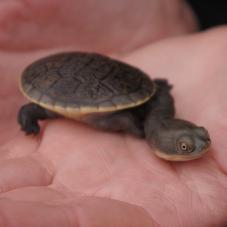 Siebenrocks Snake Necked Turtle (Chelodina siebenrocki)