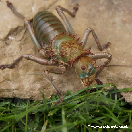 African Armoured Cricket