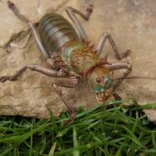 African Armoured Cricket (Acanthoplus discoidalis)