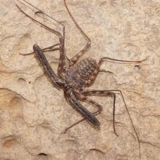 Tail Less Whip Scorpion