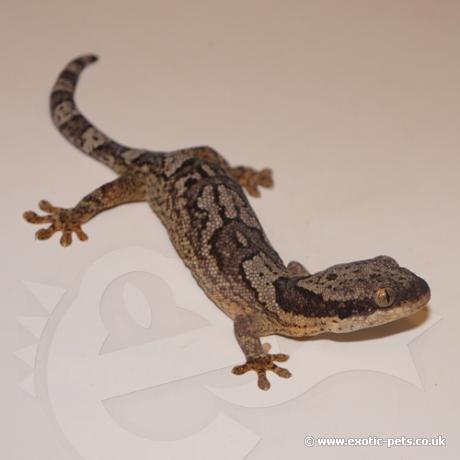 African Banded Velvet Gecko