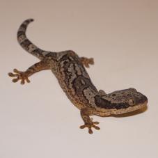 African Banded Velvet Gecko (Homopholis fasciata)