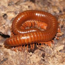 Tanzanian Brown Millipedes (Unknown)