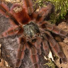 Martinique Pink Toe Tarantula (Avicularia versicolor)