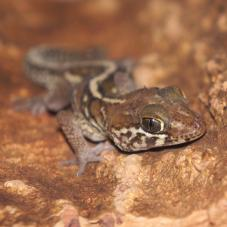 Madagascan Ground Gecko (Paroedura pictus)