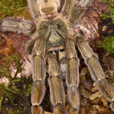 Trinidad Chevron Tarantula (Psalmopoeus cambridgei)