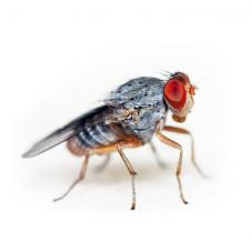 Fruit Fly Cultures (Drosophila sp.)