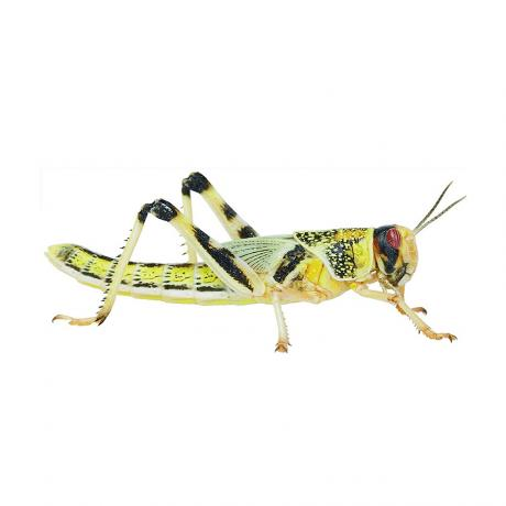 Locusts or Hoppers