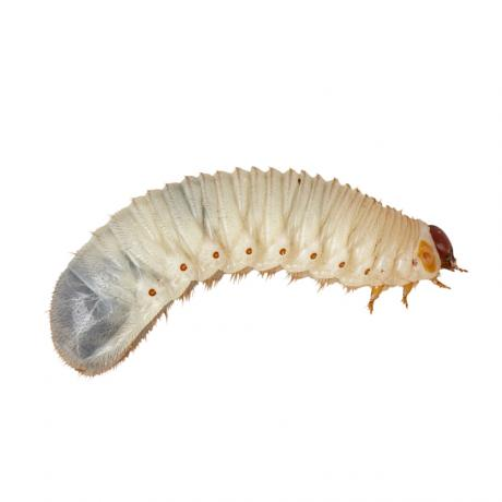 Fruit Beetle Grub