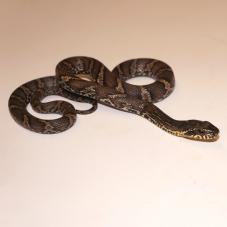 Russian Rat Snake (Elaphe schreki)