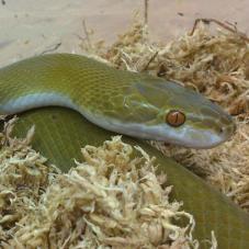 Olive House Snake (Boaedon olivaceus)