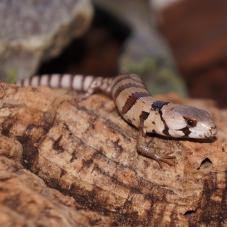 Pink Tongued Skink (Cyclodomorphus gerrardii)