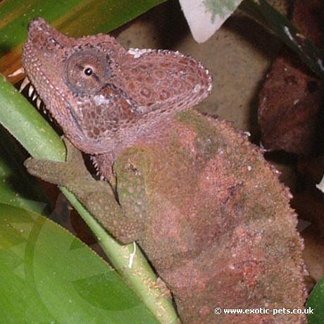 Von Hohnels Chameleon