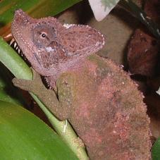 Von Hohnels Chameleon (Chamaeleo hoehnelii)