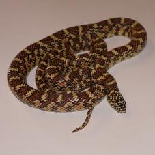 Brooks King Snake (Lampropeltis getula brooksi)