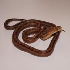 Everglades Rat Snake (Elaphe obsoleta rossalleni)