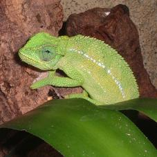 Ruwenzori Side Striped Chameleon (Chamaeleo rudis)