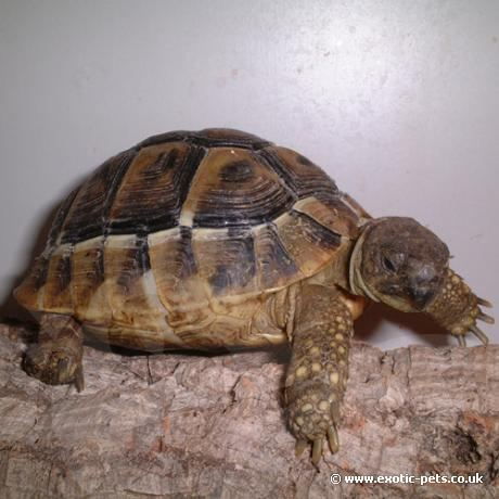 Hermans Tortoise having a climb