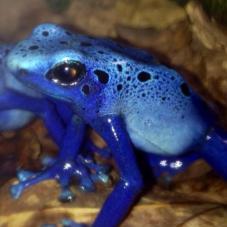 Blue Poison Dart Frog (Dendrobates tinctorius azureus)