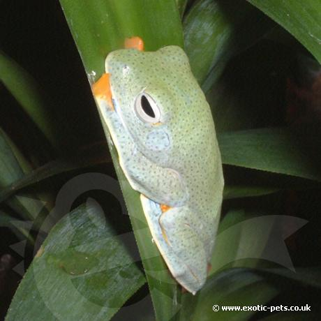 Blue-Webbed Gliding Tree Frog