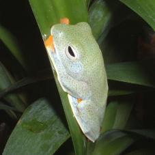 Blue-Webbed Gliding Tree Frog (Rhacophorus reinwardtii)