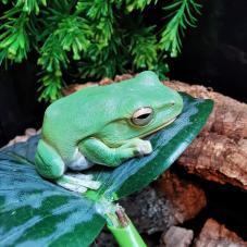 Chinese Flying Frog (Rhacophorus dennysi)