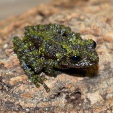 Mossy Frogs (Theloderma corticale)