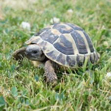 Hermann Tortoise (Testudo hermanni)