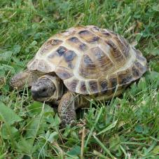 Horsfield Tortoise (Testudo horsfieldi)