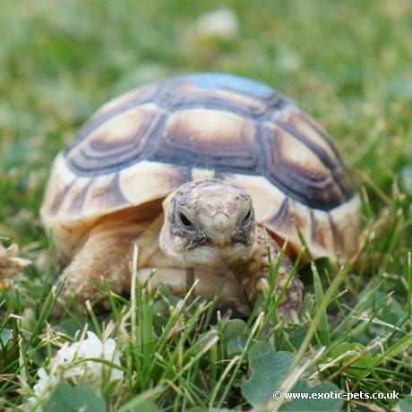 Marginated Tortoise