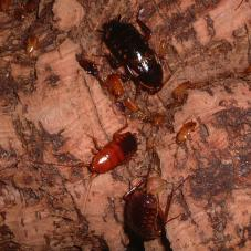 Turkistan Roaches (Blatta lateralis)