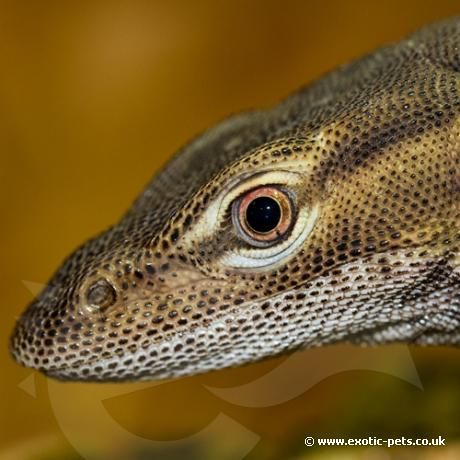 Freckled Monitor