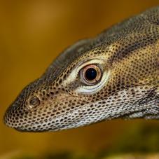 Freckled Monitor (Varanus tristis orientalis)
